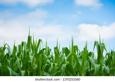 close up image of green corn flower day time.