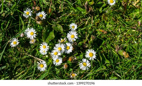 Close up image of a group of Daisy's (Bellis perennis) with a green grass background.