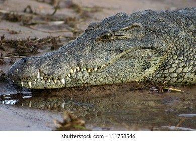 Close up image of the head of a crocodile on the bank of the Chobe river, Botswana, showing teeth reflected in the water