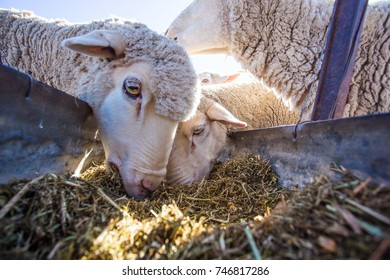 Close up image of a herd of sheep eating on a farm in South Africa