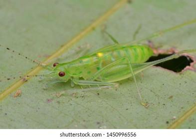 close up image of a katydid nymph