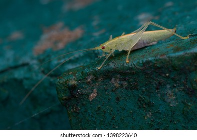 close up image of a katydid nymph on the park metal fence