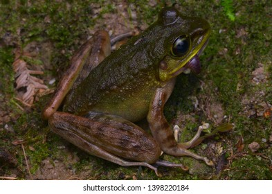 close up image of a Kinabalu Torrent Frog