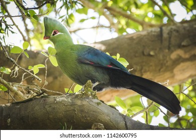 Close up image of a Knysna Turaco / Lourie feeding on the seeds of a Yellowwood tree in the Knysna forest in south africa