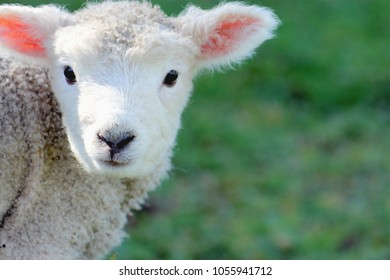 Close up image of a lamb in spring with copy space
