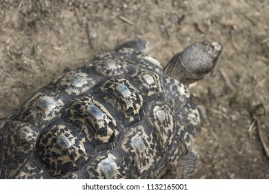Close up image of a leopard tortoise (Stigmochelys pardalis)
