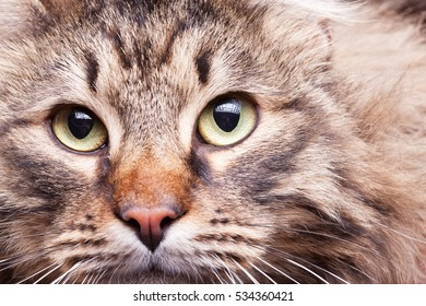 Close up image of maine coon breed looking in the camera. Perfect, gently home cat