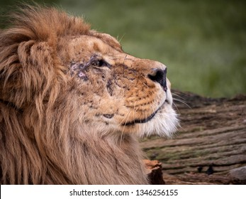 Close up image of a majestic, battle-scarred male lion's face