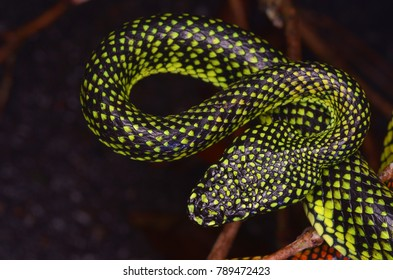 close up image of a Malcolm's Pitviper from Borneo, Sabah