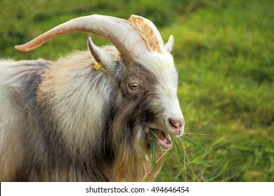 Close up image of a male or billy pygmy goat eating grass on the field.