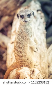 Close up image of a Meerkat