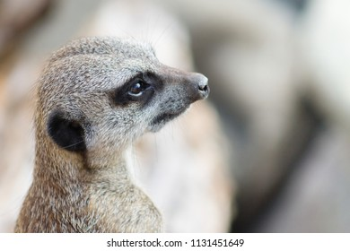 Close up image of a Meerkat with copy space