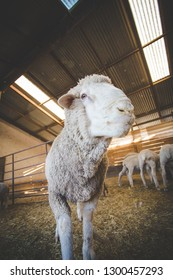 Close up image of a Merino sheep in a shed, in the Karoo region of south africa, getting ready to be sheered and the wool exported