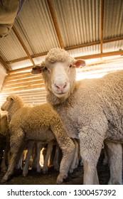 Dohne Merino Sheep Images Stock Photos Vectors Shutterstock
