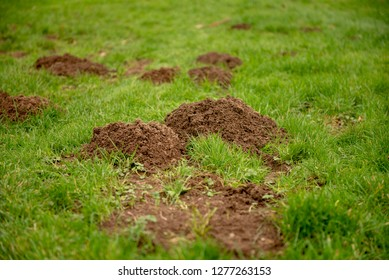 Close up image of mole hills on green grass