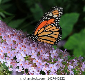 A close up image of a Monarch Butterfly. Scientific name Danaus plexippus. Also known as the common monarch. Wanderer. Common Tiger. Milkweed and  Black Veined Brown.