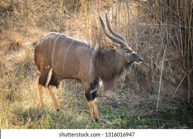 Close up image of a Nyala at a watering hole drinking water in a national park in south africa