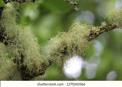 Close up image of Old man's beard lichen (Usnea filipendula), growing outdoors on a tree in a natural setting.