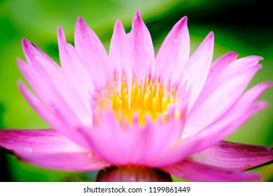 Lotus flower meaning images stock photos vectors shutterstock close up image on blooming pink lotus flower natural background lotus leaf lily pad with mightylinksfo
