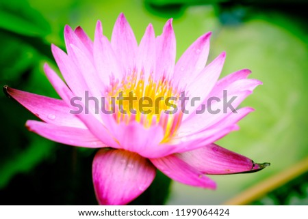 Close Image On Blooming Pink Lotus Stock Photo Edit Now 1199064424