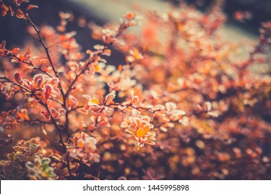 Close up image of orange autumn leaves at soft golden light.