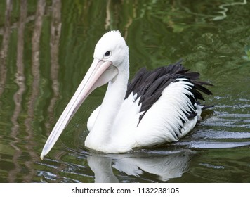 Close up image of a Pelican on water