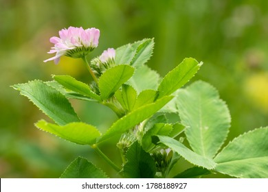 Close up image of Persian clover (Trifolium resupinatum), flowers of meadows