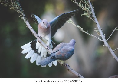Close up image of a pigeon coming in to land on a tree branch