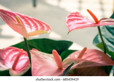 Close up image of pink Flamingo Lilies (Anthurium sonate)
