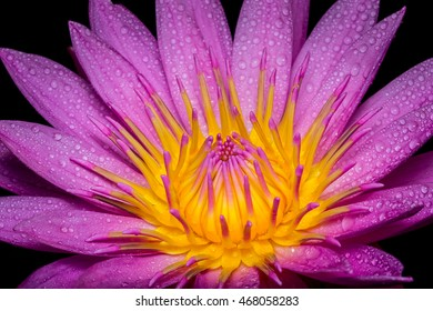 close up image of pink water lily. Water lily on top view. lotus and water lily flower