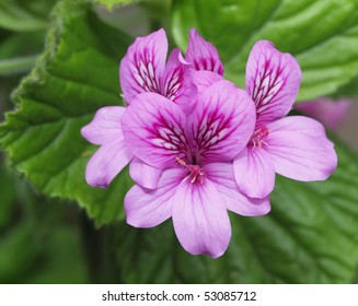 close up image of purple geranium flowers