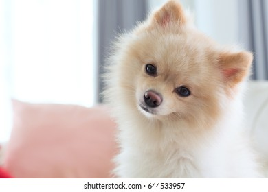 close up image, question face of small pomeranian dog cute pet