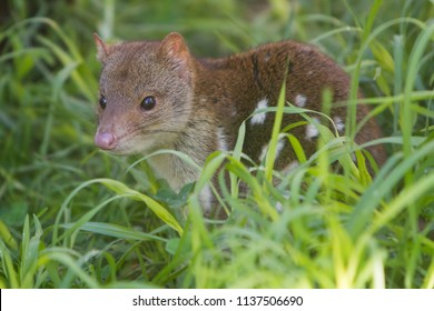 Close Up Image of a Quoll