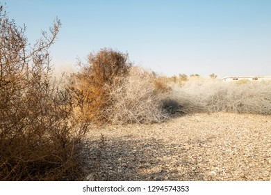 Close image of rare grey and brown dry desert bushes near Dead sea in Israel