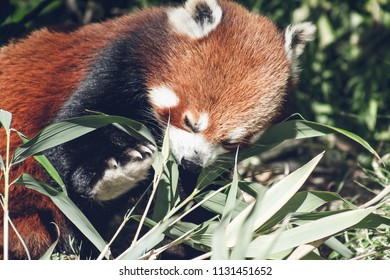 Close up image of a Red Panda (Ailurus fulgens) with copy space