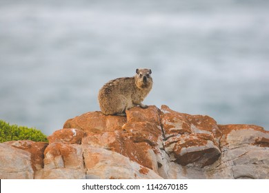 Close up image of rock hyrax sitting on a cliff
