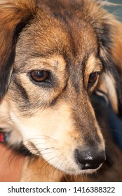 close up image of a saluki cross breed head with focus on eyes