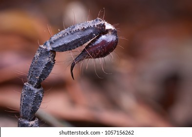 close up image of a Scorpion tail