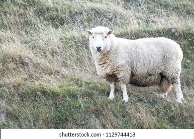 Close up image of a sheep on a farm in New Zealand with copy space