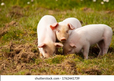 A close up image showing three little pigs (piglets)  grazing in a pasture together. Two of them are diving in the grass while the one in the middle is looking at the camera. A funny composition.