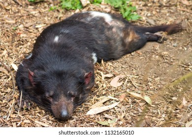 Close up image of a sleeping Tasmanian Devil (Sarcophilus harrisii) with copy space