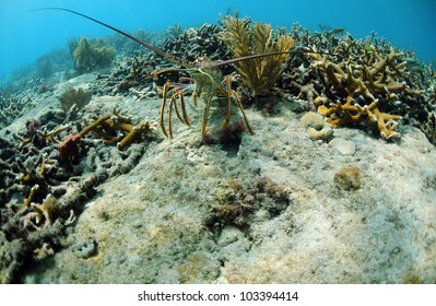 Close up image of a Spiny lobster in its natural habitat in ocean