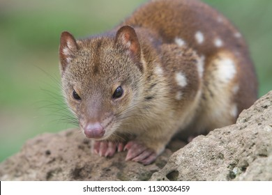 Close Up Image of a Spotted or Tiger Quoll