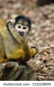 Close up image of a Squirrel Monkey