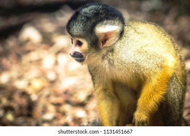 Close up image of a Squirrel Monkey with copy space