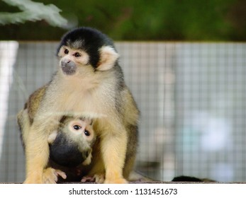 Close up image of a Squirrel Monkey holding on and feeding from its Mother.