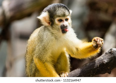 Close up image of a Squirrel Monkey pulling a funny face poking out its tongue