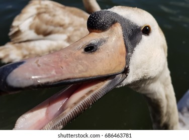 Close up image of a swan with beak slightly open.