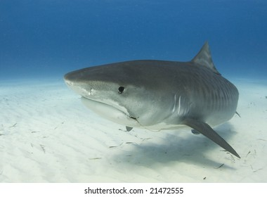 A close up image of a Tiger Shark (Galeocerdo cuvier) swimming underwater
