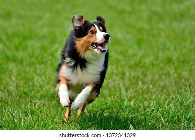Close up image of tricolor border collie running on green blurry background